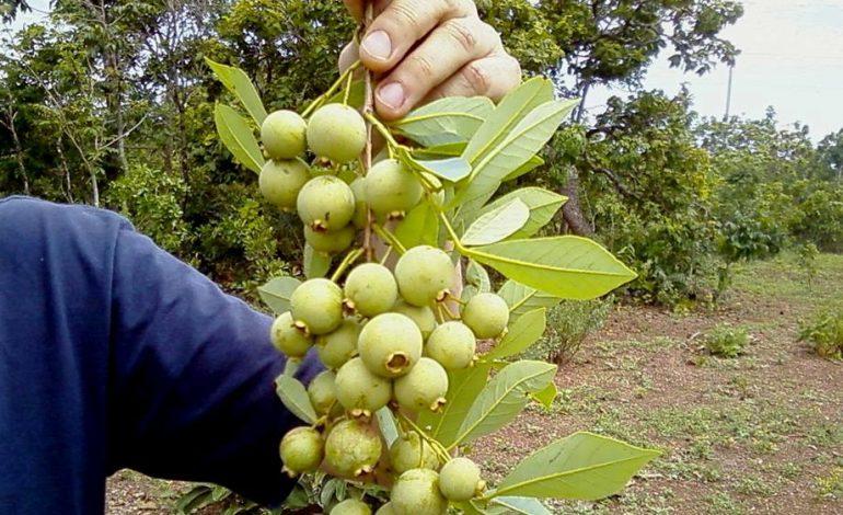 5 frutas típicas para provar no Mato Grosso do Sul